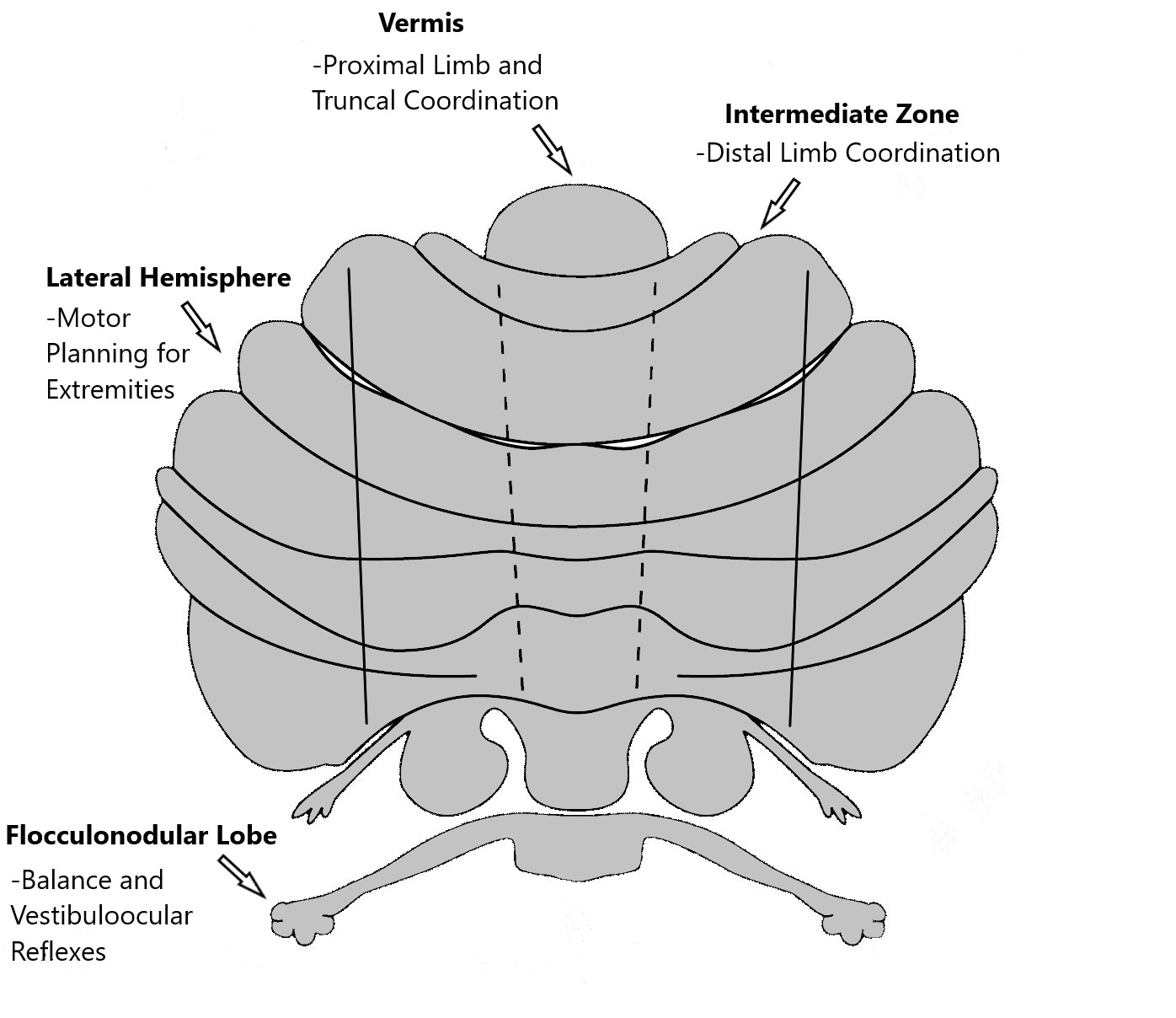 Functional zones of the cerebellum.