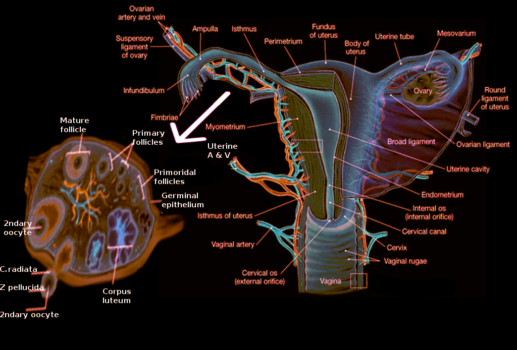 Ovary anatomy
