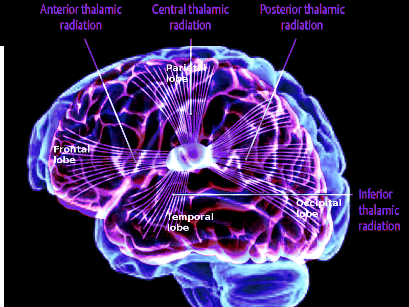 Thalamocortical projections