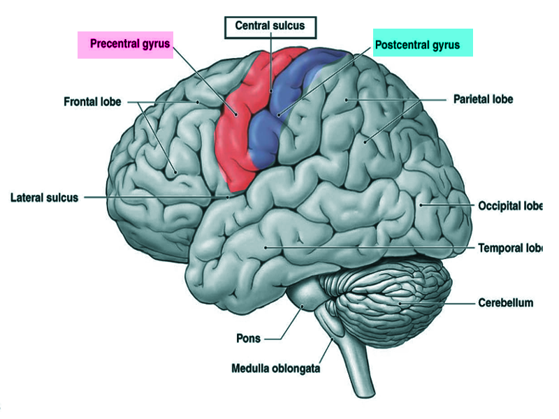 Neuroanatomy Postcentral Gyrus Article This is a ridge just behind the central sulcus, which neuroscientists use to identify the primary somatosensory cortex. neuroanatomy postcentral gyrus article