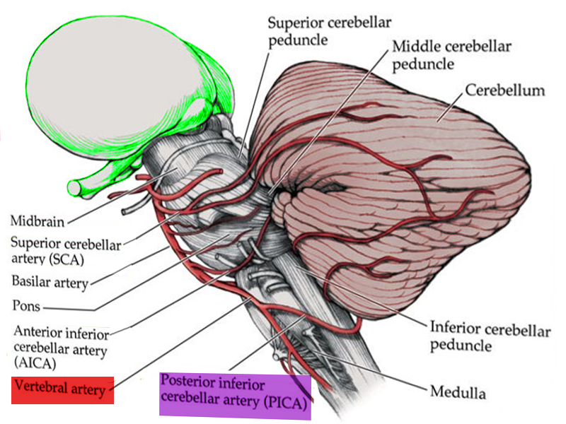 Blood supply to medulla