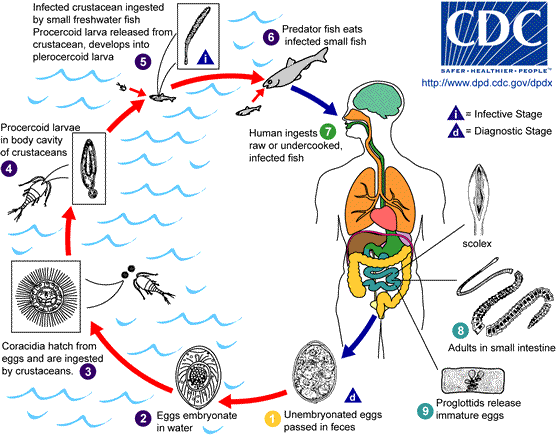 D.Latum lifecycle