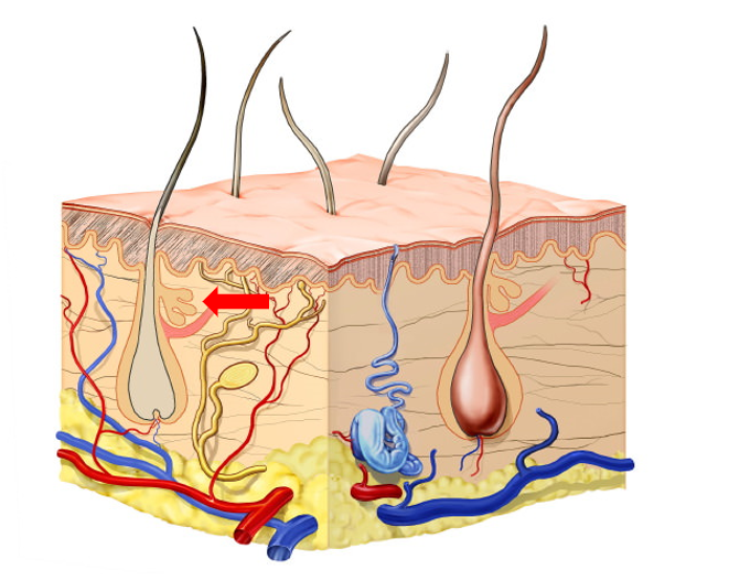 Diagram of Skin Structure