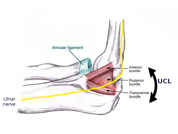 Medial elbow anatomy