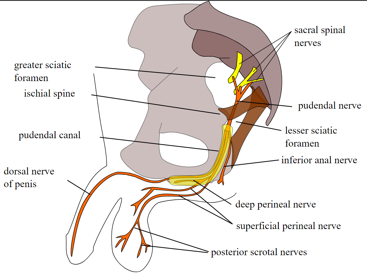 Pudendal nerve, course and branches