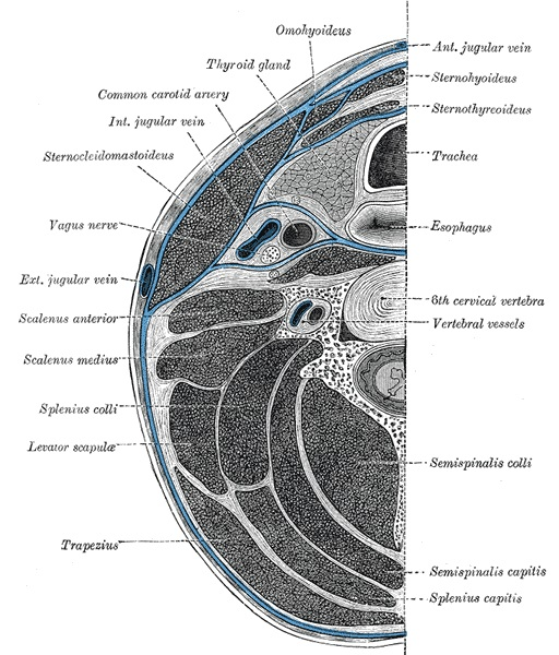 Deep cervical fascia of the neck (blue colour), being well-demonstrated by this transverse section at the level of the sixth cervical vertebra.