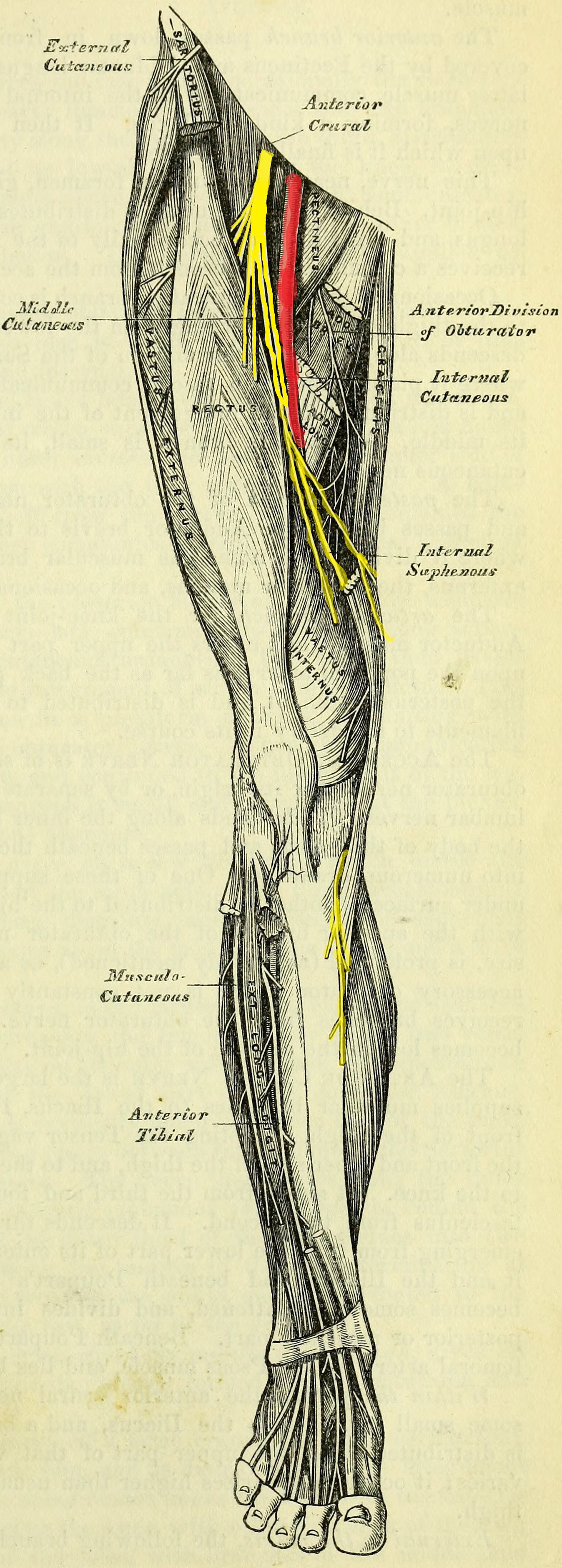branches of the femoral nerve and distribution