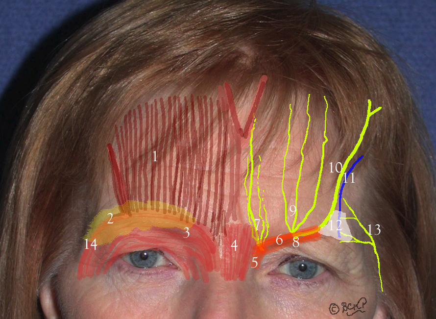 Frontalis Muscle: Anatomy of the forehead