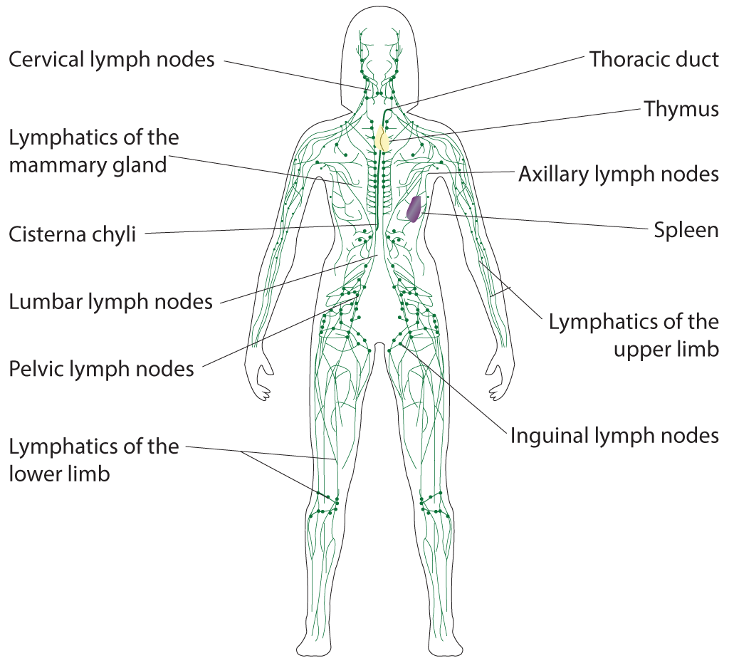 Lymphatic System, Cervical lymph nodes, Lymphatics of the mammary gland, Cisterna chyli, Lumbar lymph nodes, Pelvic lymph nodes, Lymphatics of the lower limb, Thoracic duct, Thymus, Axillary lymph nodes, Spleen, Lymphatics of the upper limb, Inguinal lymph nodes