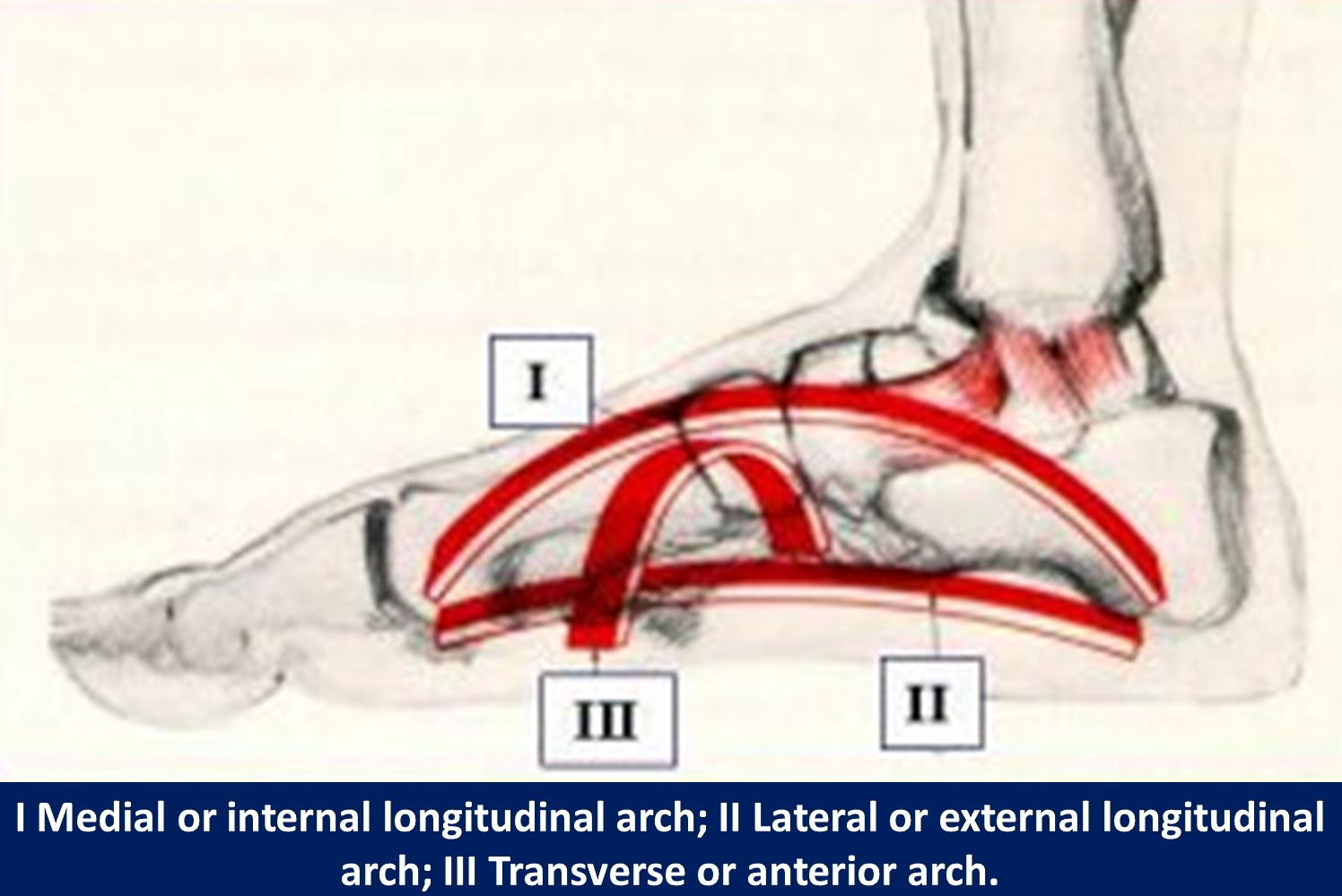 The arches of the foot.