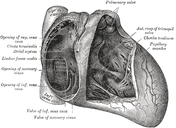 The fossa ovalis depicted on imaging and anatomically.