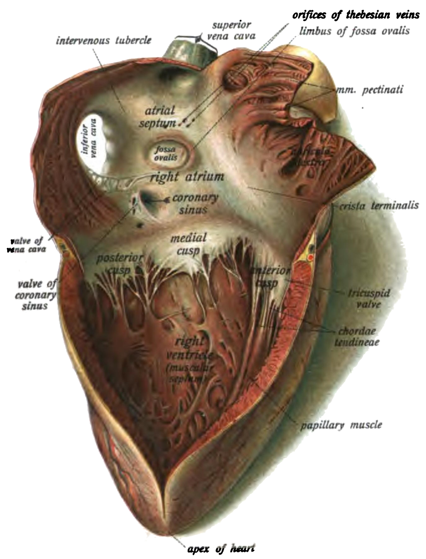 The anatomy and location of the fossa ovalis in reference to other structures of the heart.
