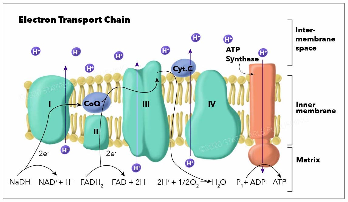Electron Transport Chain graphic. Shows Inter-membrane space, inner membrane and matrix areas