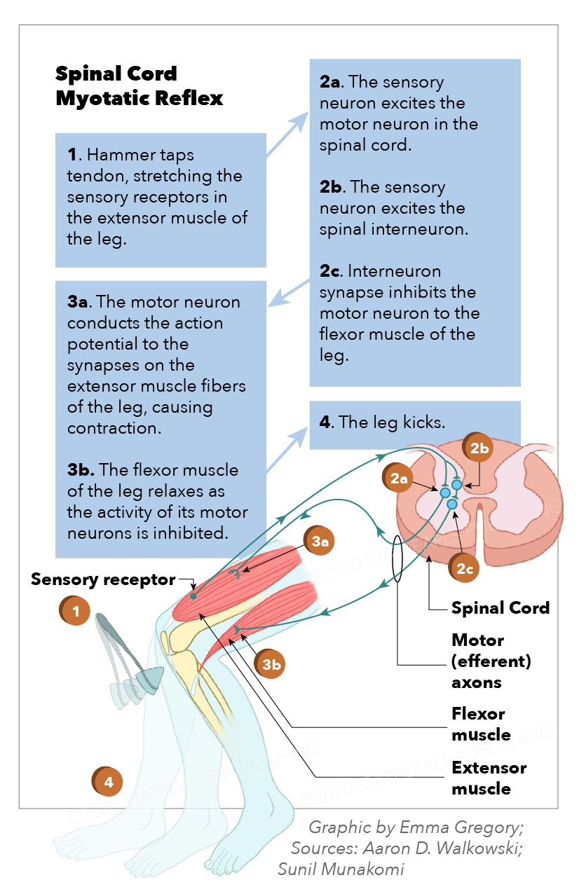 Myotatic reflex, spinal cord, sensory receptor, spinal cord, motor efferent axons. flexor muscle, extensor muscle, interneuron synapse