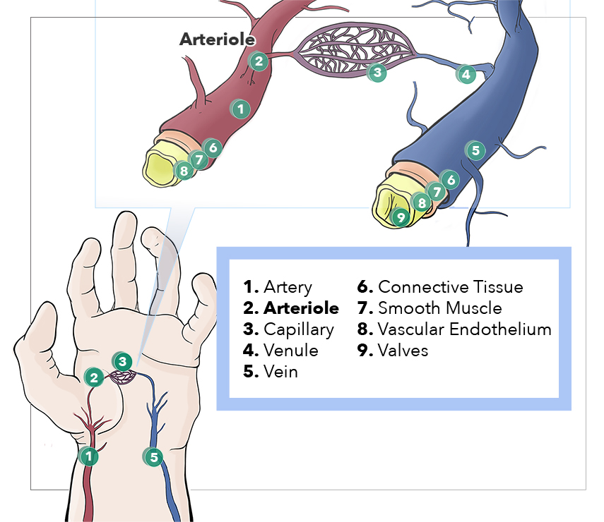Artery, Arteriole, Capillary, Venule, Vein, Connective Tissue, Smooth Muscle, Vascular Endothelium, Valves