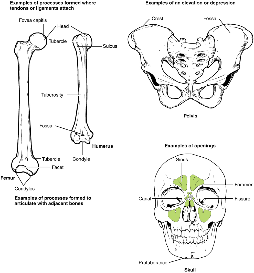Labeled Bone Markings, Examples of processes formed where tendons or ligaments attach, processes formed to articulate with adjacent bones, elevation or depressions, and openings.