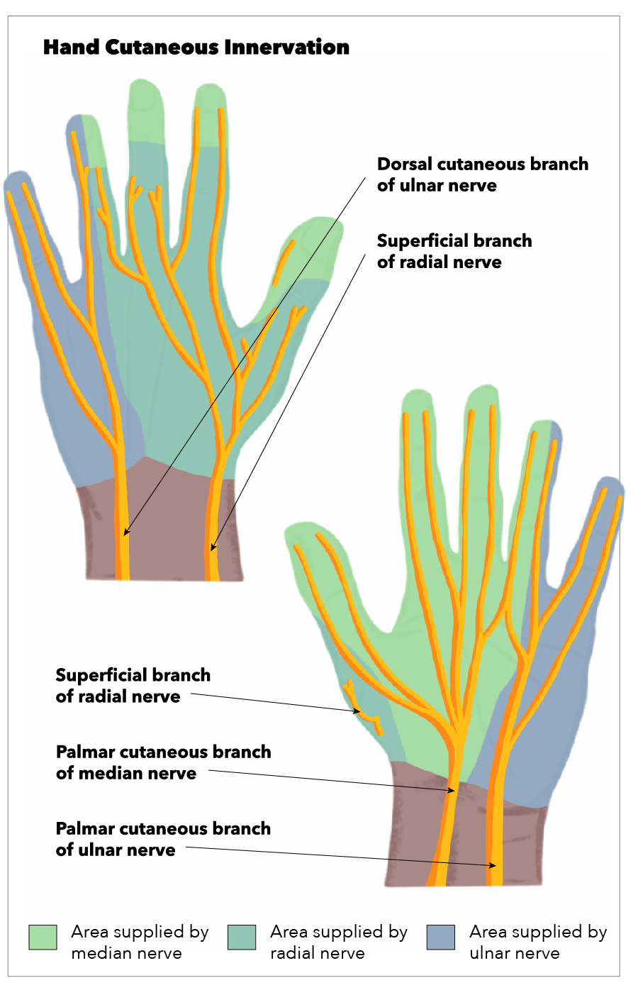 Hand Cutaneous Innervation, Superficial branch of radial nerve, Palmar cutaneous branch of median nerve, Palmar cutaneous branch of ulnar nerve, Superficial branch of radial nerve, Dorsal cutaneous branch of ulnar nerve