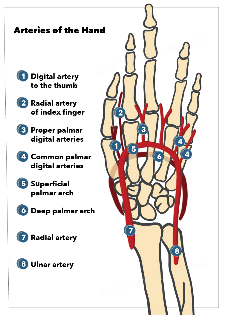 Ulnar artery, Radial artery, Deep palmar arch, Superficial palmar arch, Common palmar