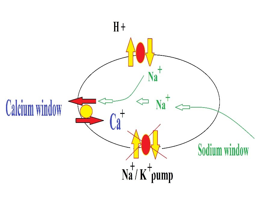 Figure 2: mechanism of calcium overload phenomenon, blockage of sodium/potassium pump leads to activation of sodium/hydrogen antiporters and sodium channels (sodium window). The excess sodium is then exchanged with calcium leading to calcium overload.