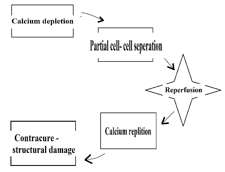 Figure 3: postulated theory of calcium paradox