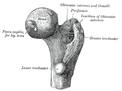 Femur, Right, Upper Extremity, Head, Fovea capitis, Ligament teres, Neck, Obturator internus, Gemelli, Piriformis, Obturator externus, Trochanteric Fossa, Trochanter, Lesser Trochanter, Greater Trochanter, Intertrochanteric Crest.