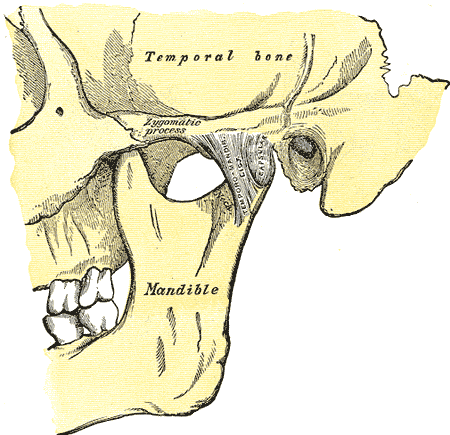 Articulation of, Mandible, Temporal bone, Zygomatic process, Temporomandibular Ligament, Capsular, Lateral Aspect,