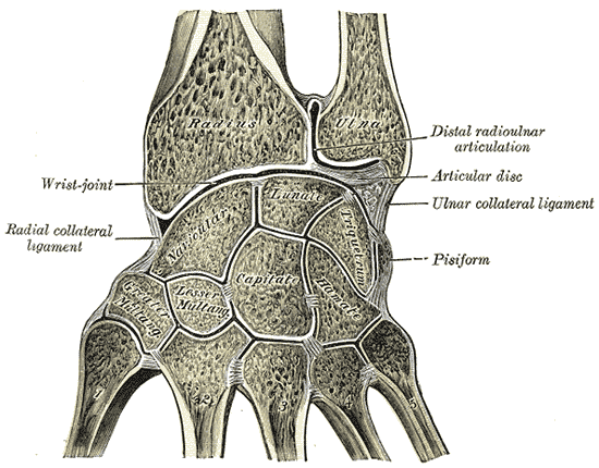 Synovial Cavities, Distal radioulnar articulation, Articular disc, Wrist joint, Radial collateral ligament, Ligament, Pisiform, Ulna, Radius, Metacarpals, Navicular, Lunate, Capitate, Hamate, Trapezium, Trapezoid, Triquetrum, Cavities