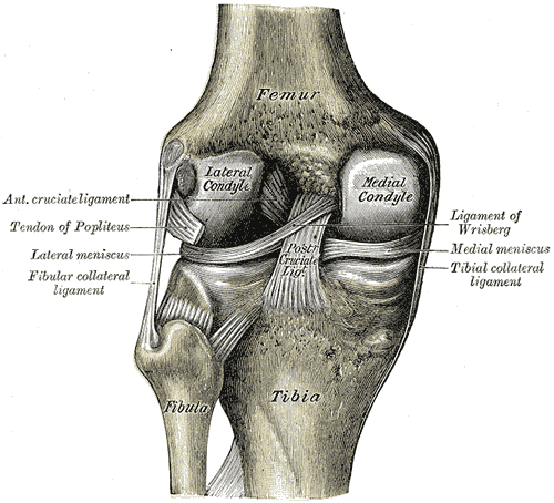 Interior Ligaments of the Left Knee-joint, Anterior Cruciate Ligament, Tendon of Popliteus, Lateral Meniscus, Fibular Collateral Ligament, Ligament of Wrisberg, Medial Meniscus, Tibial Collateral Ligament, Posterior Cruciate Ligament, Femur, Tibia, Fibula