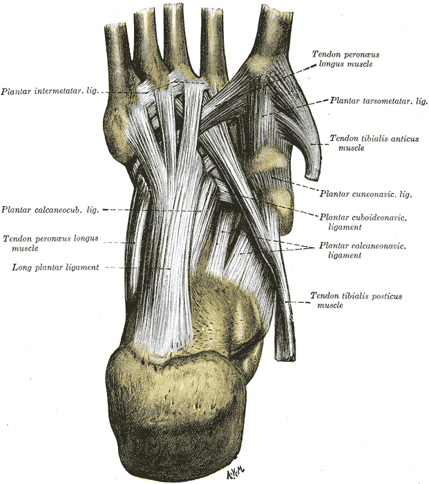Ligaments of the sole of the foot, Plantar Intermetatarsal Ligament, Plantar Calcaneocuboid Ligament, Tendon Peroneus Longus, Long Plantar Ligament, Tendon Peroneus Longus, Plantar Tarsometatarsal Ligament, Tendon Tibialis Anticus, Plantar Cuneonavicular Ligament, Plantar Calcaneonavicular Ligament, Tendon Tibialis Posticus,