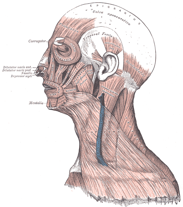 Head Face and Neck Muscles, Epicranius, Galea aponeurotica, Frontalis, Temporal Fascia, Auricularis Superior, Auricularis Anterior, Auricularis Posterior, Occipitalis, Sternocleidomastoid,  Platysma, Trapezius, Orbicularis Oculi, Corrugator, Procerus Nasalis, Dilatator Naris Anterior, Dilatator Naris Posterior, Depressor Septi, Mentalis, Orbicularis Oris, Masseter, Zygomaticus, Risorius