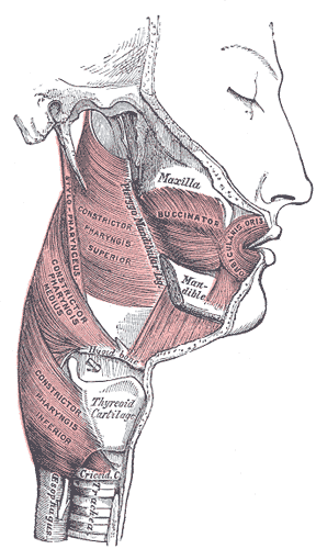 Muscles of the Pharynx and Cheek, Maxilla, Buccinator, Orbicularis Oris, Mandible, Constrictor Pharyngis Superior Medius and Inferior, Thyroid Cartilage, TRachea, Esophagus, Stylopharyngeus