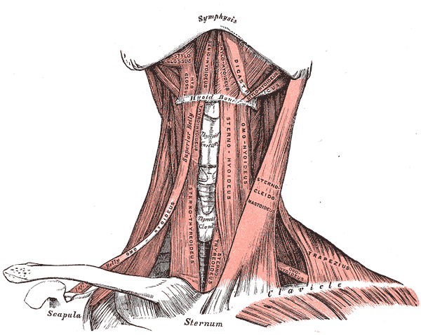 Supra and Infrahyoid muscles, Hyoid Bone, Clavicle, Styloglossus, Hyoglossus, Geniohyoideus, Mylohyoideus, Digastricus, Stylohyoideus, Omohyoideus, Sternothyroideus, Sternohyoideus, OmoHyoideus, Sternocleidomastoideus, Trapezius, OmoHyoideus