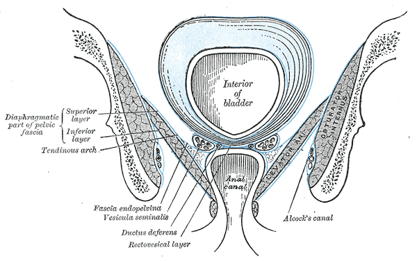 Anatomy of the Pelvic Floor, Interior of bladder, Anal Canal, Diaphragmatic part of pelvic fascia; Superior Layer and Inferior Layer, Tendinous Arch, Fascia Endopelvic, Vesicula Seminalis, Ductus Deferens, Rectovesical layer, Alcock's Canal, Obturator Internus