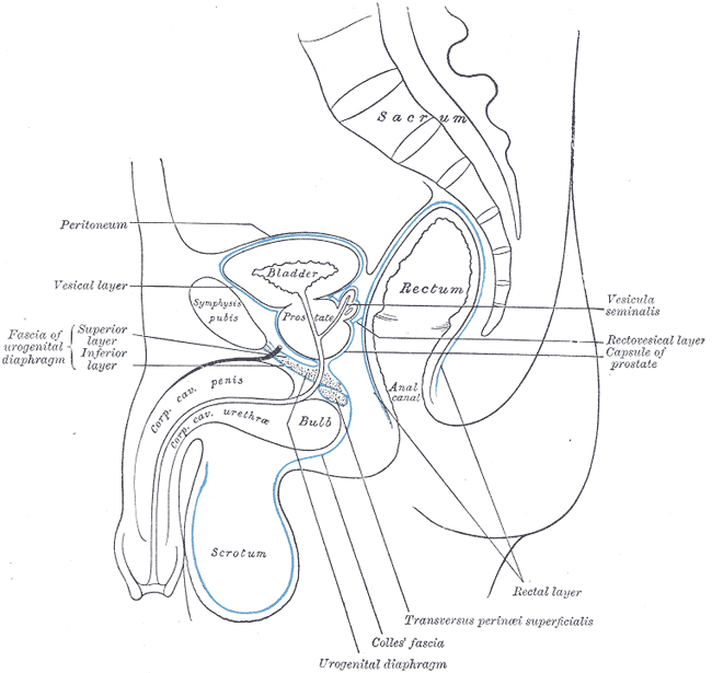 Median sagittal section of pelvis, Sacrum, Peritoneum, Vesical Layer, Fascia of urogenital diaphragm; Superior and Inferior Layer, Bladder, Prostate, Symphysis pubis, Rectum, Anal Canal, corpus cavernosum penis and Urethra, Bulb, Scrotum, Urogenital diaphragm, Colles Fascia, Transversus Perinei Superficialis, Rectal Layer, Vesicula seminalis, Rectovesical layer, Capsule of Prostate