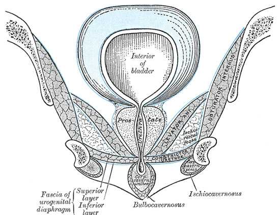 Perineal Membrane, Superior and Inferior Fascia of Urogenital diaphragm, Prostate, Urethra, Interior of Bladder, Bulbocavernosus, Ischiocavernosus,  Corpus Cavernosum Urethra, Levator Ani, Ischia Rectal, Obturator Internus
