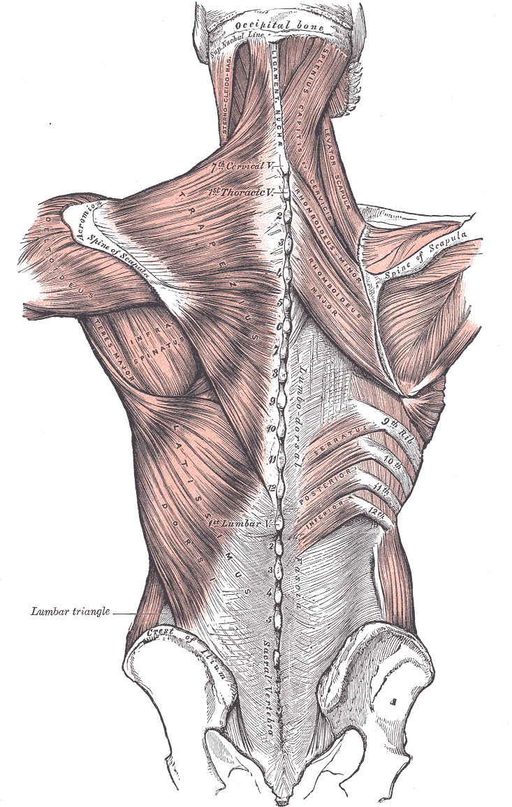 Muscles connecting the upper extremity to the vertebral column, Occipital Bone, Superior Nuchal Line, Sternocleidomastoid, Ligamentum Nuchae, Splenius Capitis of Cervicis, Levator Scapula, Rhomboideus Minor and Major, Spine of Scapula, Trapezius, Deltoideus, Teres Major, Infraspinatus, Latissimus Dorsi, Serratus Posterior Inferior, Lumbar Triangle, Cres of Ilium, Sacral Vertebra