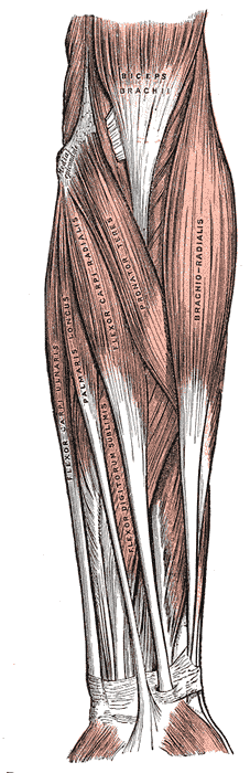 Muscles and Fascia of the forearm, Biceps Brachii, Brachioradialis, Pronator Teres, Flexor Carpi radialis, Palmaris longus, Flexor carpi ulnaris, Flexor digitorum sublimis,