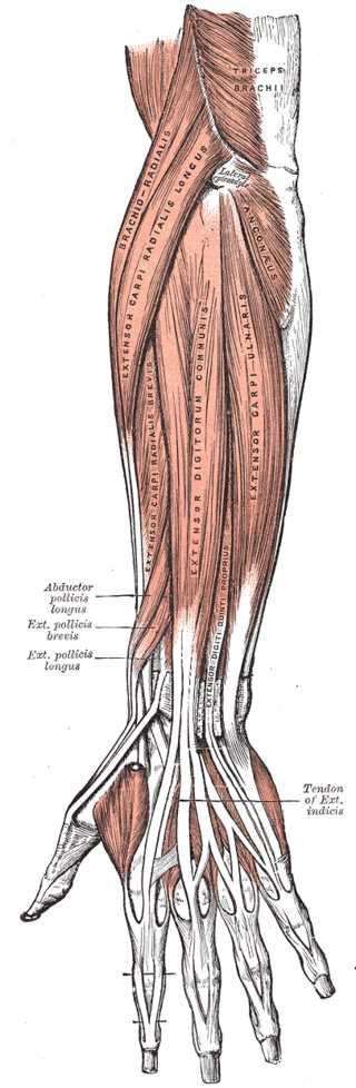 Anterior view of the Muscles and Tendons of the Forearm