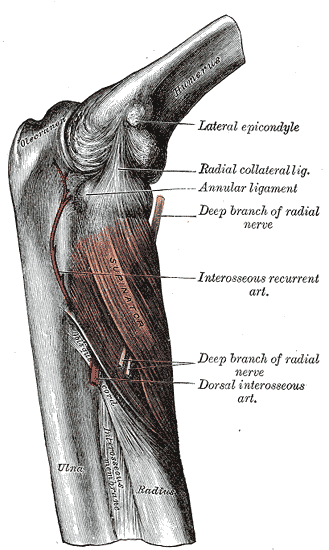 Anterior Compartment of the Forearm, Humerus, Lateral Epicondyle, Radial collateral ligament, Annular ligament, deep branch of radial nerve, Interosseous recurrent artery, Deep branch of radial nerve, Ulna, Radius, Supinator