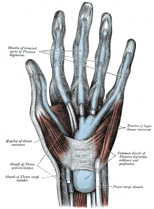 Muscles and Fascia of the Hand, Sheaths of terminal parts of Flexores digitorum, Muscles of thenar eminence, Muscles of hypothenar eminence, Sheath of Flexor pollicis longus, Transverse Carpal Ligament, Common Sheath of Flexors digitorum sublimis and Profundus, Flexor carpi ulnaris