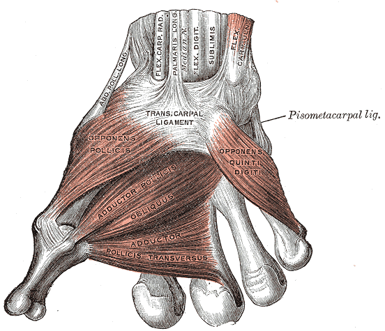 Muscles of the Thumb, Ligaments of the Wrist, Abductor pollicis longus, Flexor Carpal Radialis, Palmaris Longus, Median Nerve, Flexor Digitorum sublimis, Flex Carpal ulnaris, Transcarpal Ligament, Opponens Pollicis, Adductor Pollicis obliques, Adductor pollicis transversus, Opponens quinti digiti