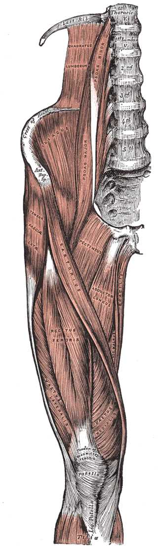 Tensor Fasciae Latae Muscles, Abductor of the Thigh, Thoracic Vertebrae, Quadratus Lumborum, Psoas Minor and Major, Crest of Ilium, Anterior Superior Spine, Iliacus, Tensor Fascia Latae, Sartorius, Pectineus, Adductor Longus, Gracilis, Adductor Magnus, Rectus Femoris, Vastus Lateralis and Medialis, Tibia, Patella, Tendon of Quadriceps