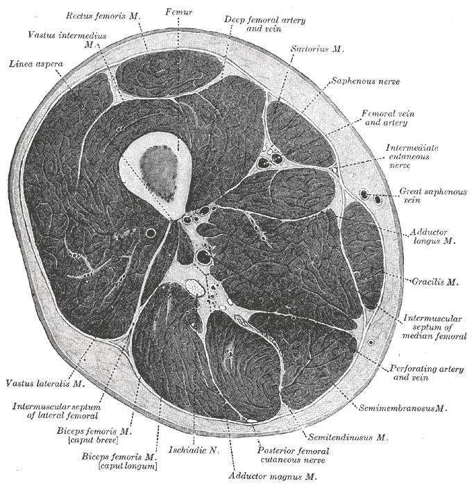 Thigh Cross sectional Anatomy