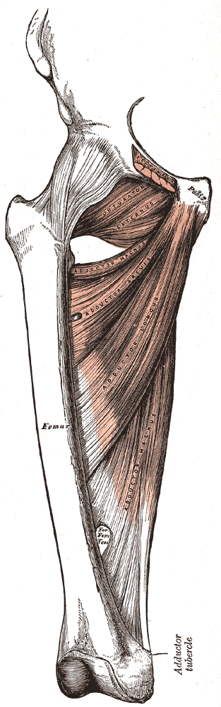 Medial Compartment of the Thigh, Pubis, Femur, Obturator Externus, Adductor Magnus; Brevis; Longus,