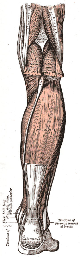 Muscles and Structures of the Leg, Semi-tendinosus, Biceps, Semimembranosus, Popliteus Fossa, Gastrocnemius, Soleus,  Tendo Calcaneus, Calcaneus,