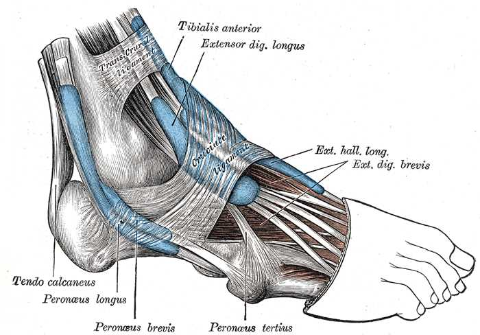 Muscles Tendons and Ligaments of the Foot, Trans Crural Ligament, Tibial Anterior, Extensor Digiti Longus, Tendo Calcaneus, Peroneus Longus and Brevis, Cruciate Ligament