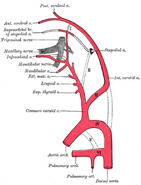 Internal carotid artery branches, Embryology