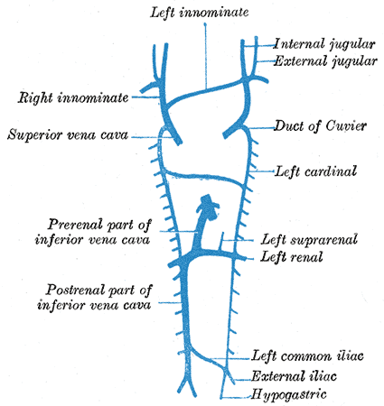 Embryology, development of venous system, Left  and Right innominate, Internal and External Jugular, Superior vena cava, Duct of Cuvier, Left cardinal, Left Suprarenal and Renal,  inferior vena cava; Prerenal and Postrenal parts, Left common iliac, External Iliac, Hypogastric