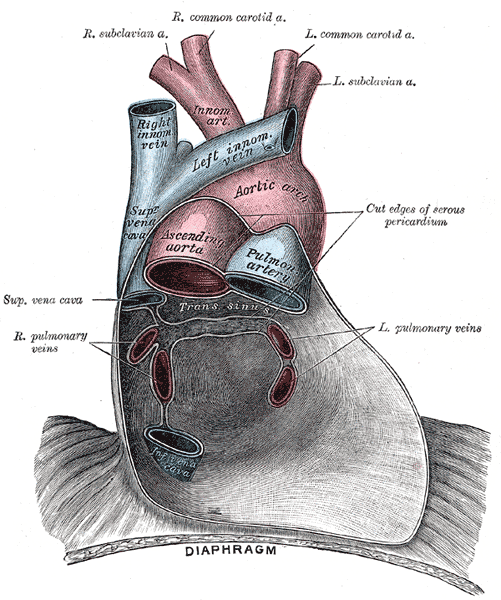 Pericardium anatomy, Right Subclavian Artery, Right Common Carotid Artery, Left Common Carotid Artery, Left Subclavian Artery, Innominate Artery, Right Innominate vein, Left innominate vein, Aortic Arch, Superior Vena cava, Ascending Aorta, Pulmonary Artery, Left and Right Pulmonary veins, Inferior Vena Cava, Diaphragm