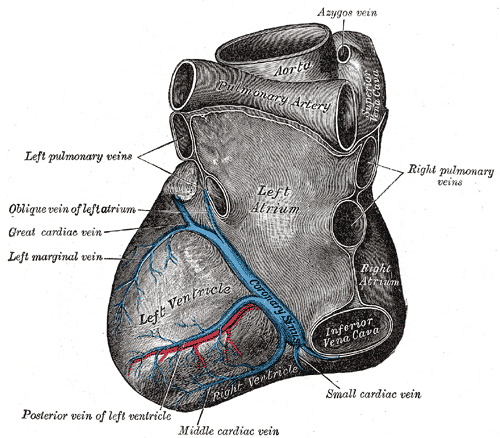 Anatomy of the Heart from the Left, Left Atrium, Left Ventricle, Azygos vein, Aorta, Coronary Sinus, Posterior vein of left ventricle, Oblique vein of left atrium, Cardiac vein, Left marginal vein